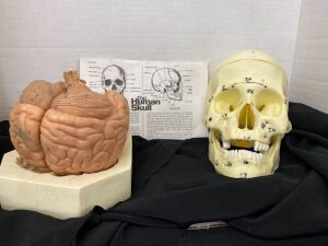 SCIENTIFIC MODEL OF THE BRAIN AND HUMAN SKULL